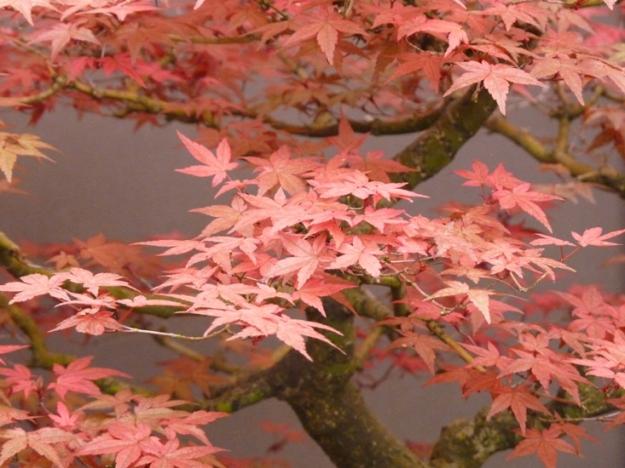 Maple Bonsai by Sam Everitt